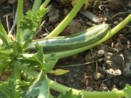 ~Courgettes~