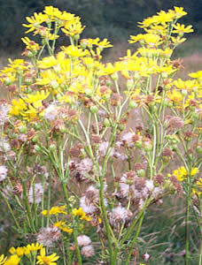 commonragwort