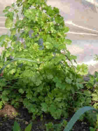 ~Thriving Coriander~