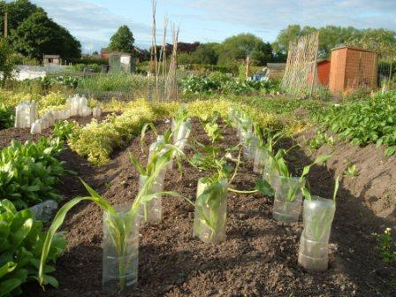 ~Courgettes and cucumbers flanked by corn~