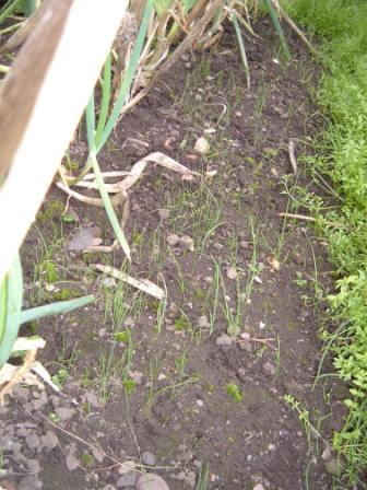 ~Welsh onions seeding themselves~